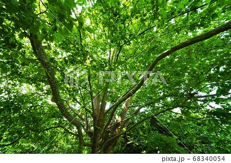 樹高約24メートルのモミジバスズカケノキ 枝の広がり 68340054