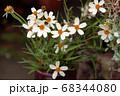 ジニア ヒャクニチソウ ホワイト 68344080