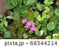 ダイモンジソウの花 68344214