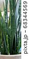 サンセベリアの蕾み 68344569