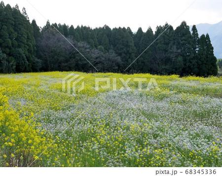 熊本県南阿蘇村の春 菜の花と浜大根のハーモニー 68345336