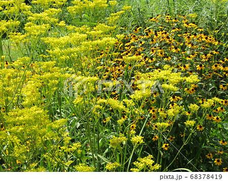 黄色いオミナエシの花秋の七草の一つ 68378419