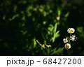 ヒメジョオン 68427200