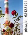 青空に映えるバラ 68428194