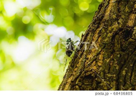 夏休みといえば元気な蝉の鳴き声(緑の風がふく避暑地の一枚) 68436805