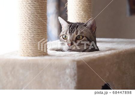 キャットタワーで遊ぶ猫 顔アップ 68447898