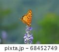 ラベンダーで吸蜜する「ツマグロヒョウモン」の雄 68452749
