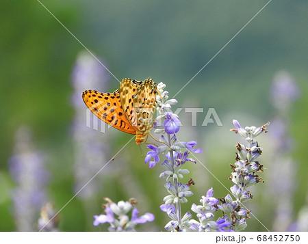 ラベンダーで吸蜜する「ツマグロヒョウモン」の雄 68452750