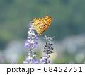 ラベンダーで吸蜜する「ツマグロヒョウモン」の雄 68452751