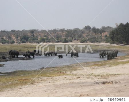 ボツワナチョベ国立公園で水浴びするアフリカゾウの群れ、チョベ国立公園のアフリカゾウの群れ 68460961