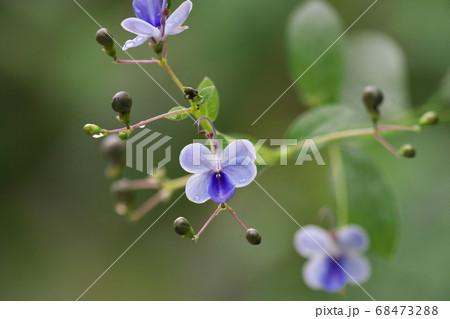 クレロデンドルム・ウガンデンセの花 68473288