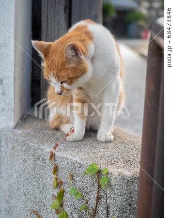 塀の上から下を見下ろす茶色と白の猫 68473846