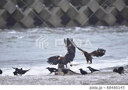エゾシカの亡骸に群れるオオワシとカラス(北海道) 68480145
