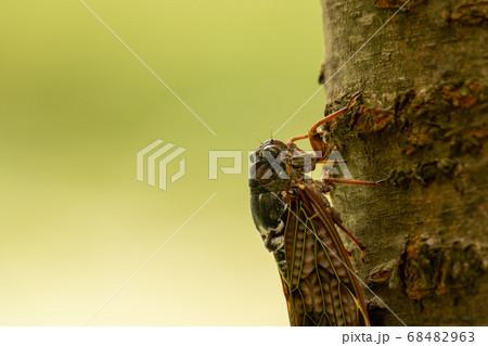 木の幹に留まるセミ(成虫)の横からの姿のアップ 68482963