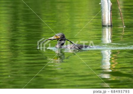 池で泳ぎながら木枝を咥えて運ぶ河鵜 68493793