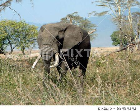 セレゲンティ国立公園のアフリカ象 68494342