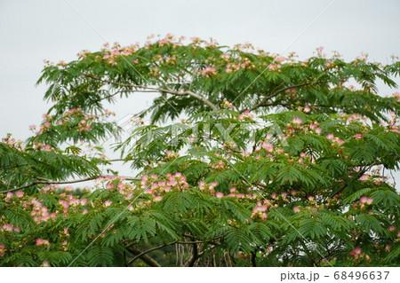 梅雨に咲くねむの木の花の咲く風景 68496637