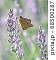 ラベンダーの蜜を吸うチャバネセセリ 68500287
