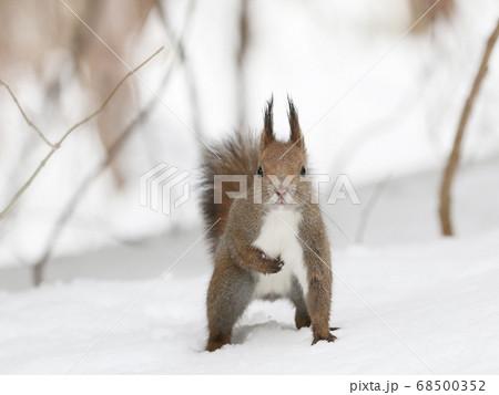 雪の上に立って挨拶しているエゾリス 68500352