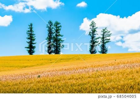 北海道美瑛町 マイルドセブンの丘の夏景色 68504005