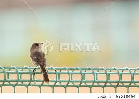 冬 フェンスの上でたたずむジョウビタキの雌 68518464