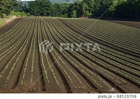 夏の北海道乙部町で芽が出たばかりの秋大根の畑の畝の風景を撮影 68520709