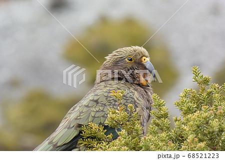 """ニュージーランドの野鳥 """"キア""""。ミヤマオウム。マウントクック 68521223"""