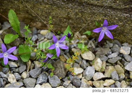 こぼれ種で咲いたカンパニュラアルペンブルー 68525275