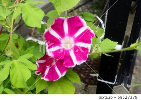 夏の花:あさがお:庭の花壇 68527379