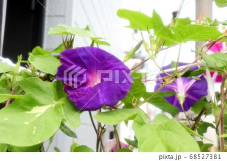 夏の花:あさがお:庭の花壇 68527381