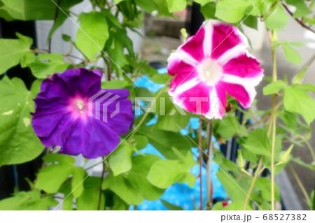 夏の花:あさがお:庭の花壇 68527382