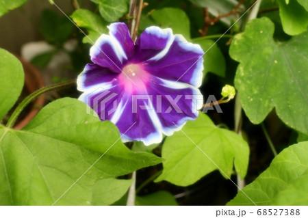 夏の花:あさがお:庭の花壇 68527388