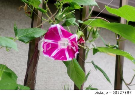 夏の花:あさがお:庭の花壇  68527397
