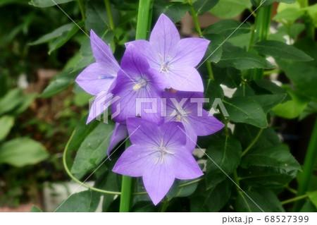 初夏の壇の花:桔梗:ききょう 68527399