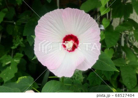 初夏の壇の花:酔芙蓉:すいふよう 68527404