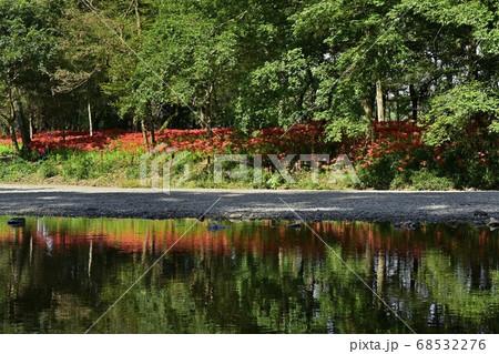 高麗川に倒影するヒガンバナ咲く巾着田曼珠沙華公園 68532276
