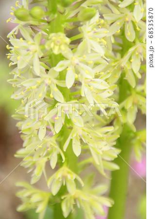 透明感のある白い花と淡い黄緑色が印象的なパイナップルリリー 68535870