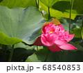 蓮の葉に寄り添って咲く濃いピンク色の八重咲きの蓮の花 68540853