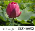 開きかけた蓮の花の蕾 68540952