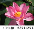 夏の陽射しの下で咲く蓮の花 68541254