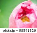 花びらが開き始めて花托や雌しべが見える蓮の蕾 68541329