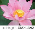 満開の蓮の花 68541392