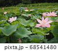 蓮の花が咲き競う蓮田 68541480