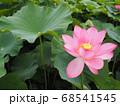 咲き誇った蓮の花と蓮の葉 68541545
