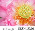 八重の蓮の花と花托 68541589