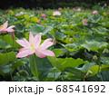 蓮の花が咲き競う蓮田 68541692