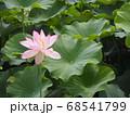 凛と咲く蓮田の中の蓮の花 68541799