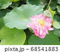 満開の八重の蓮の花と果托 68541883