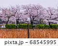 カモメと桜並木 上野恩賜公園 68545995