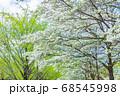 ハナミズキと新緑の木立 68545998